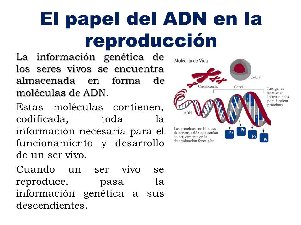 El papel del ADN en la reproducción La información genética de los seres vivos se encuentra almacenada en forma de moléculas de ADN La información gen