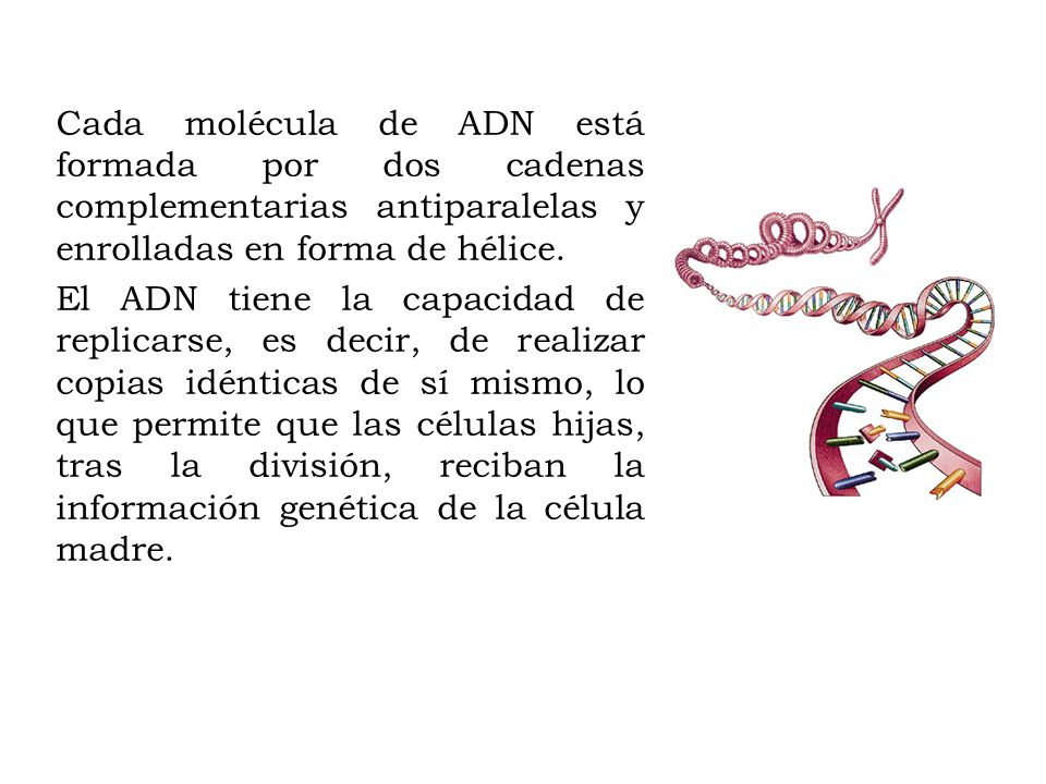 Cada molécula de ADN está formada por dos cadenas complementarias antiparalelas y enrolladas en forma de hélice. El ADN tiene la capacidad de replicar