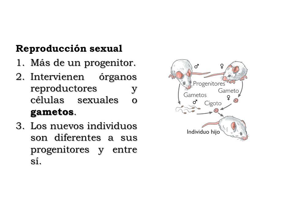 Reproducción sexual 1.Más de un progenitor. 2.Intervienen órganos reproductores y células sexuales o gametos. 3.Los nuevos individuos son diferentes a