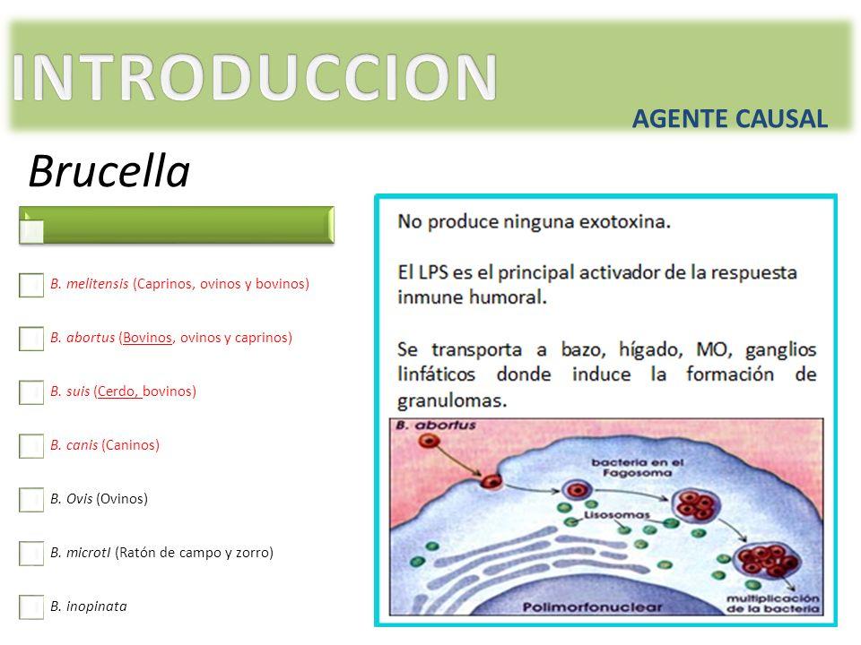 AGENTE CAUSAL Brucella B. melitensis (Caprinos, ovinos y bovinos) B. abortus (Bovinos, ovinos y caprinos) B. suis (Cerdo, bovinos) B. canis (Caninos)