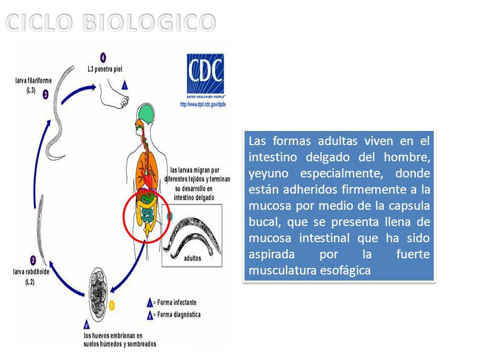 Las formas adultas viven en el intestino delgado del hombre, yeyuno especialmente, donde están adheridos firmemente a la mucosa por medio de la capsul