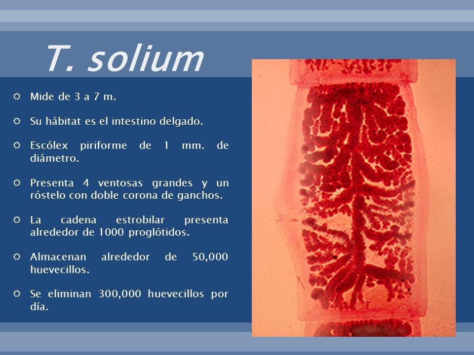 Mide de 3 a 7 m. intestino delgado Su hábitat es el intestino delgado. Escólex piriforme de 1 mm. de diámetro. Presenta 4 ventosas grandes y un róstel