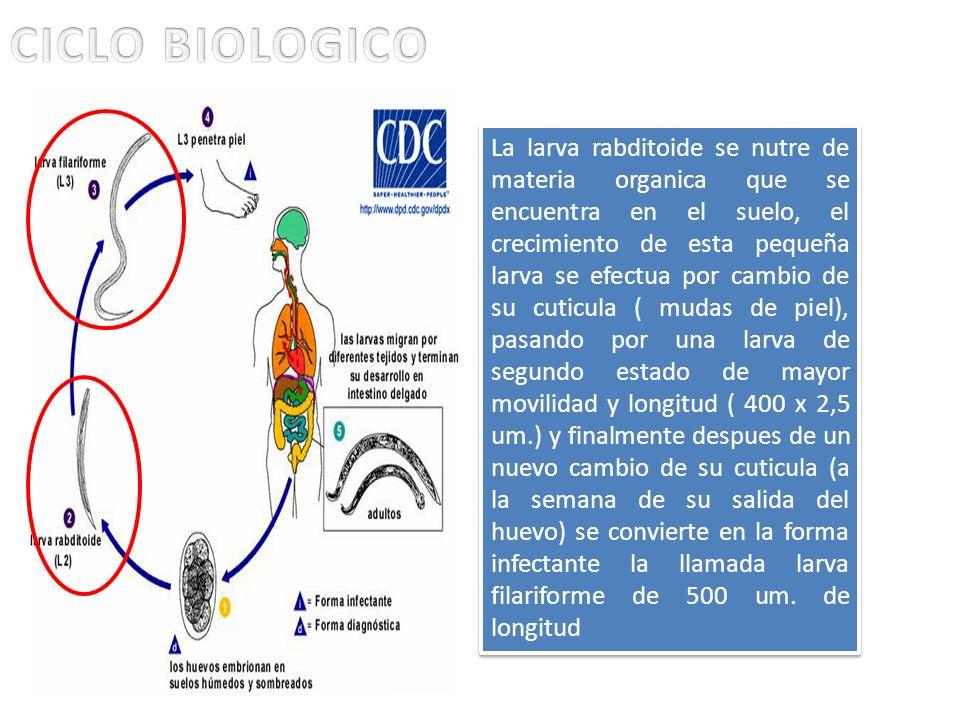 La larva rabditoide se nutre de materia organica que se encuentra en el suelo, el crecimiento de esta pequeña larva se efectua por cambio de su cuticu