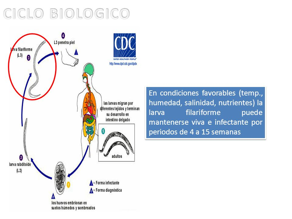 En condiciones favorables (temp., humedad, salinidad, nutrientes) la larva filariforme puede mantenerse viva e infectante por periodos de 4 a 15 seman