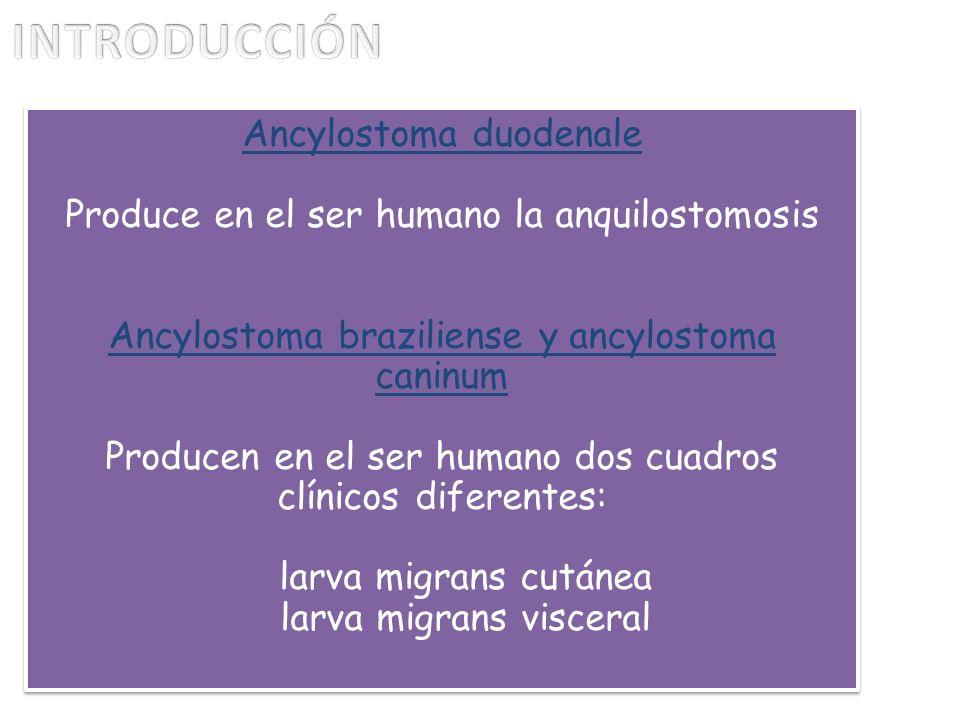 Ancylostoma duodenale Produce en el ser humano la anquilostomosis Ancylostoma braziliense y ancylostoma caninum Producen en el ser humano dos cuadros