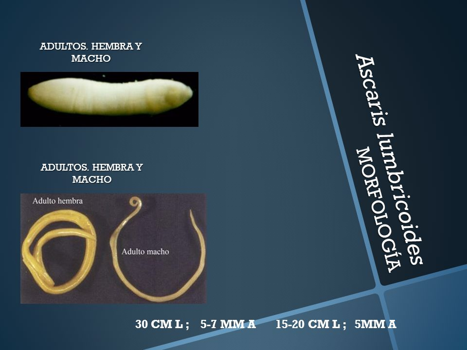 Ascaris lumbricoides MORFOLOGÍA ADULTOS. HEMBRA Y MACHO 30 CM L ; 5-7 MM A15-20 CM L ; 5MM A