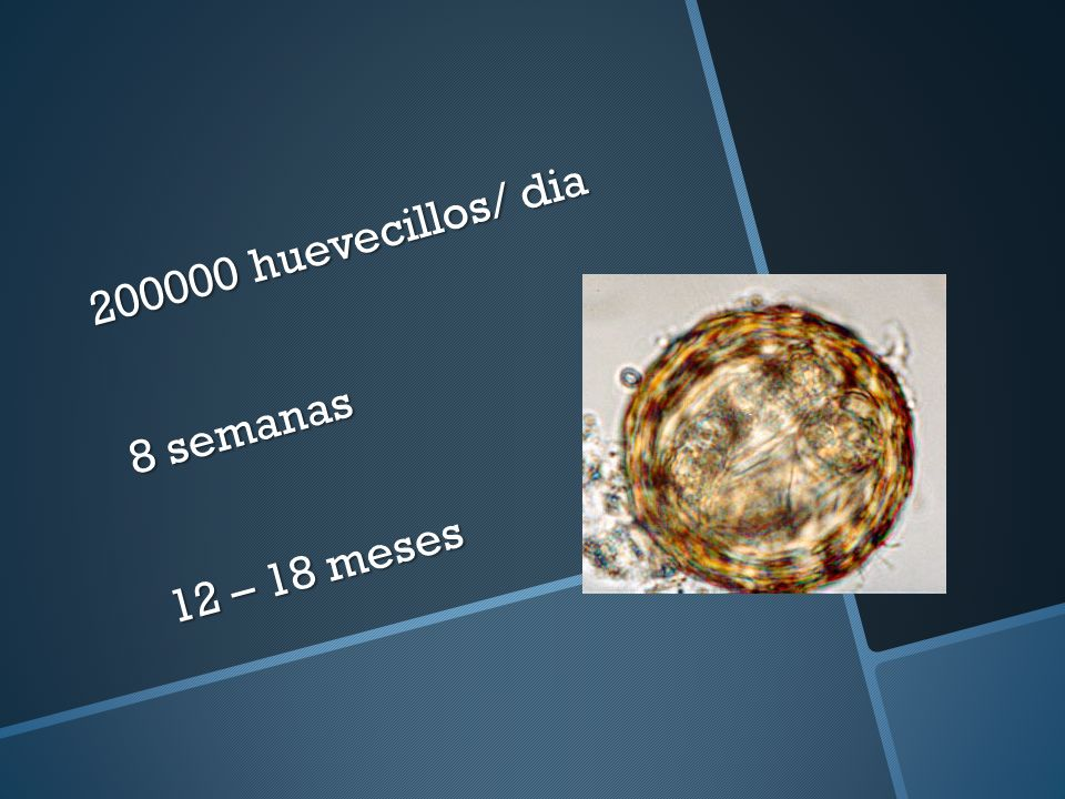 200000 huevecillos/ dia 8 semanas 12 – 18 meses