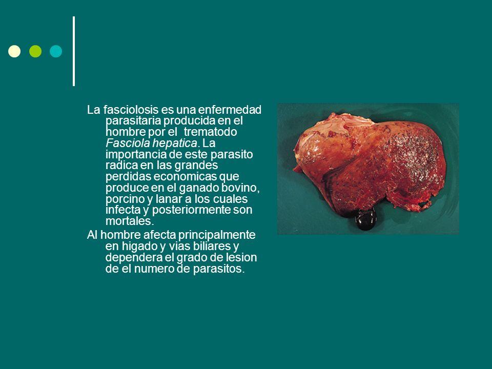 La fasciolosis es una enfermedad parasitaria producida en el hombre por el trematodo Fasciola hepatica. La importancia de este parasito radica en las