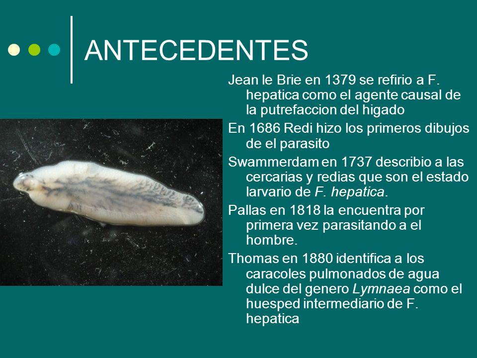 ANTECEDENTES Jean le Brie en 1379 se refirio a F. hepatica como el agente causal de la putrefaccion del higado En 1686 Redi hizo los primeros dibujos