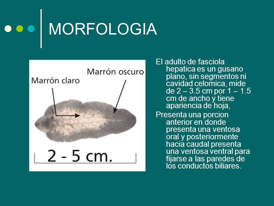 MORFOLOGIA El adulto de fasciola hepatica es un gusano plano, sin segmentos ni cavidad celomica, mide de 2 – 3.5 cm por 1 – 1.5 cm de ancho y tiene ap