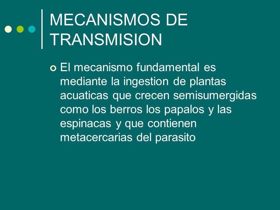 MECANISMOS DE TRANSMISION El mecanismo fundamental es mediante la ingestion de plantas acuaticas que crecen semisumergidas como los berros los papalos