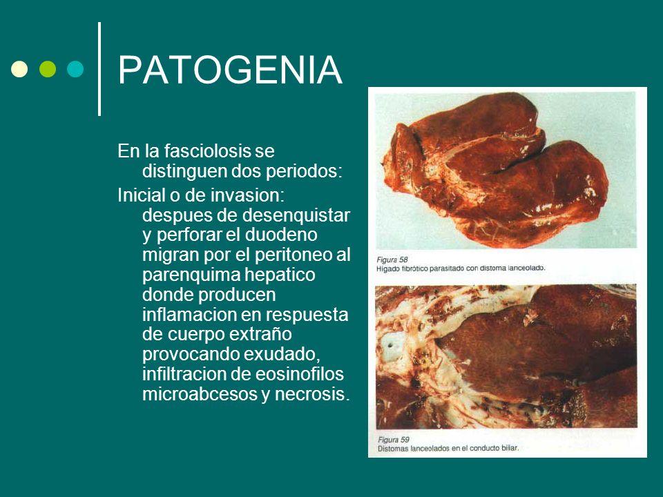 PATOGENIA En la fasciolosis se distinguen dos periodos: Inicial o de invasion: despues de desenquistar y perforar el duodeno migran por el peritoneo a