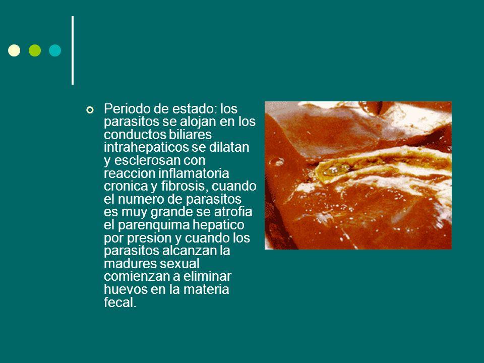 Periodo de estado: los parasitos se alojan en los conductos biliares intrahepaticos se dilatan y esclerosan con reaccion inflamatoria cronica y fibros