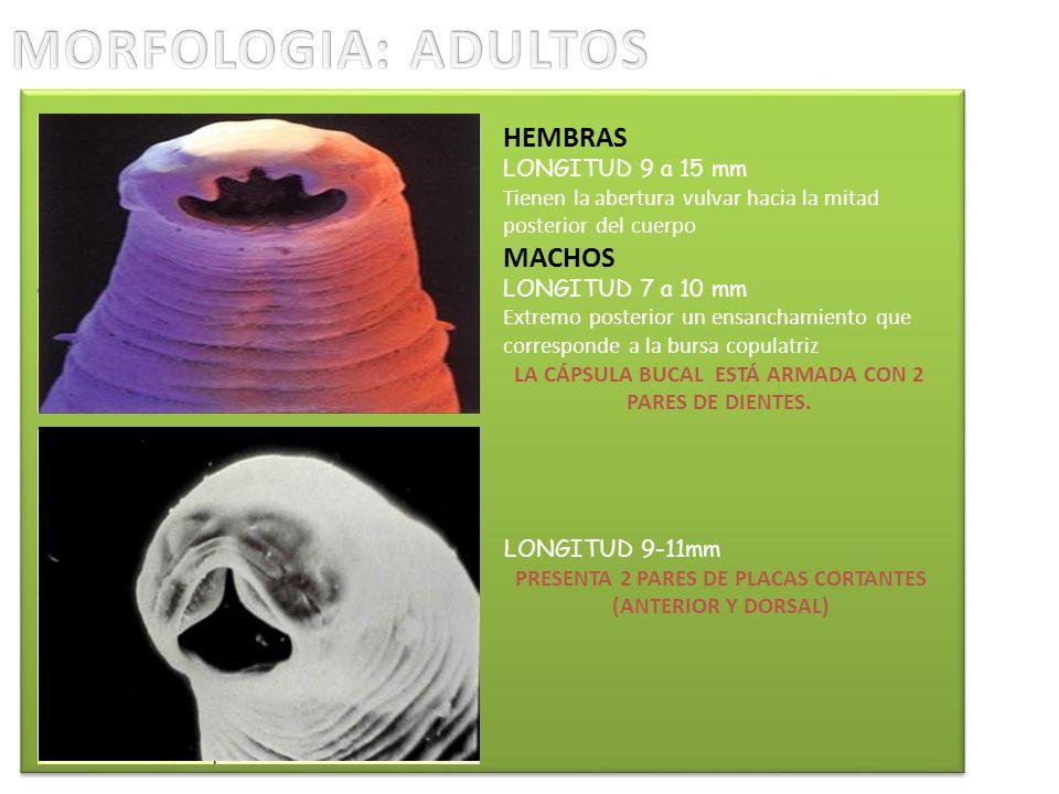 HEMBRAS LONGITUD 9 a 15 mm Tienen la abertura vulvar hacia la mitad posterior del cuerpo MACHOS LONGITUD 7 a 10 mm Extremo posterior un ensanchamiento