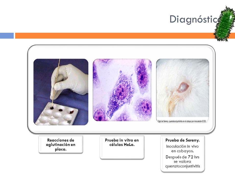 Diagnóstico Reacciones de aglutinación en placa. Prueba in vitro en células HeLa. Prueba de Sereny. Inoculación in vivo en cobayos. Después de 72 hrs