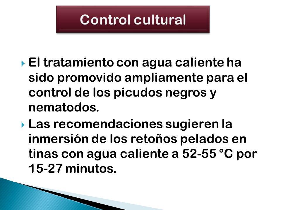El tratamiento con agua caliente ha sido promovido ampliamente para el control de los picudos negros y nematodos. Las recomendaciones sugieren la inme