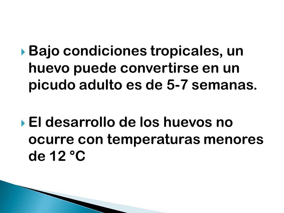 Bajo condiciones tropicales, un huevo puede convertirse en un picudo adulto es de 5-7 semanas. El desarrollo de los huevos no ocurre con temperaturas