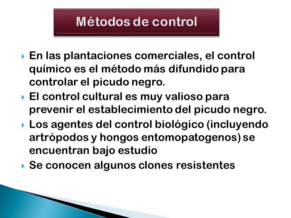 En las plantaciones comerciales, el control químico es el método más difundido para controlar el picudo negro. El control cultural es muy valioso para