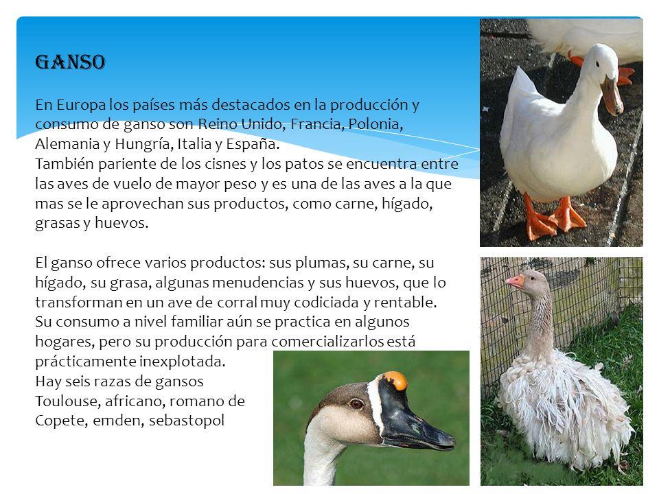 PATO La carne de pato es uno de los productos que se extraen de este ave, de la que también se obtienen productos de calidad como el jamón y el foie gras.