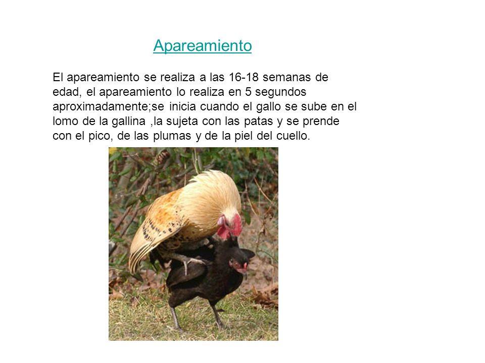 Apareamiento El apareamiento se realiza a las 16-18 semanas de edad, el apareamiento lo realiza en 5 segundos aproximadamente;se inicia cuando el gallo se sube en el lomo de la gallina,la sujeta con las patas y se prende con el pico, de las plumas y de la piel del cuello.