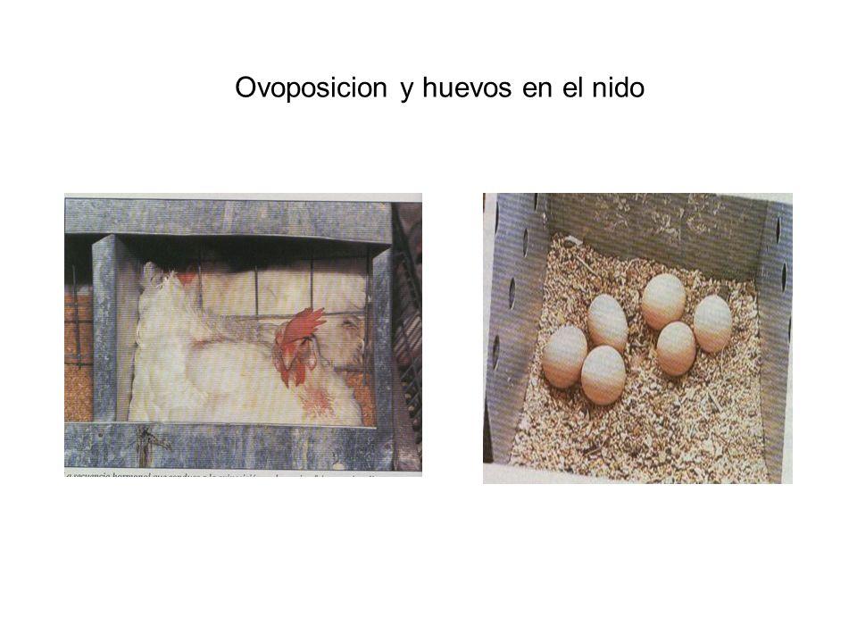 Ovoposicion y huevos en el nido