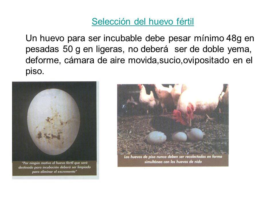 Selección del huevo fértil Un huevo para ser incubable debe pesar mínimo 48g en pesadas 50 g en ligeras, no deberá ser de doble yema, deforme, cámara de aire movida,sucio,ovipositado en el piso.