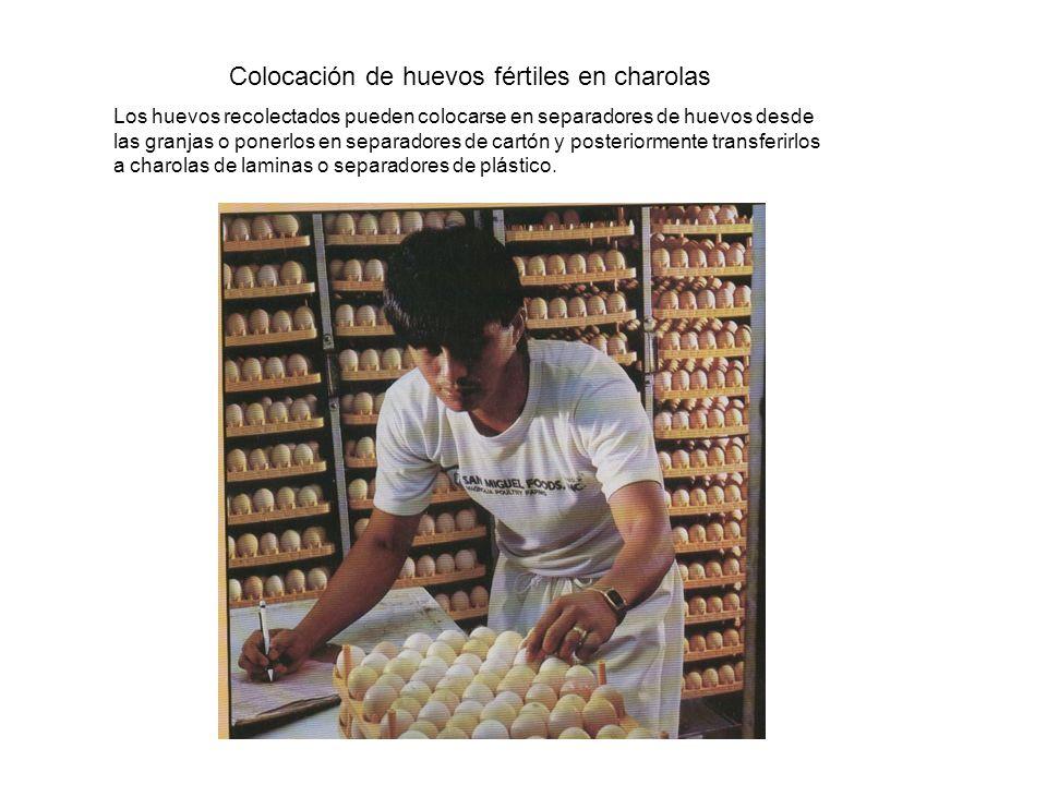 Colocación de huevos fértiles en charolas Los huevos recolectados pueden colocarse en separadores de huevos desde las granjas o ponerlos en separadores de cartón y posteriormente transferirlos a charolas de laminas o separadores de plástico.