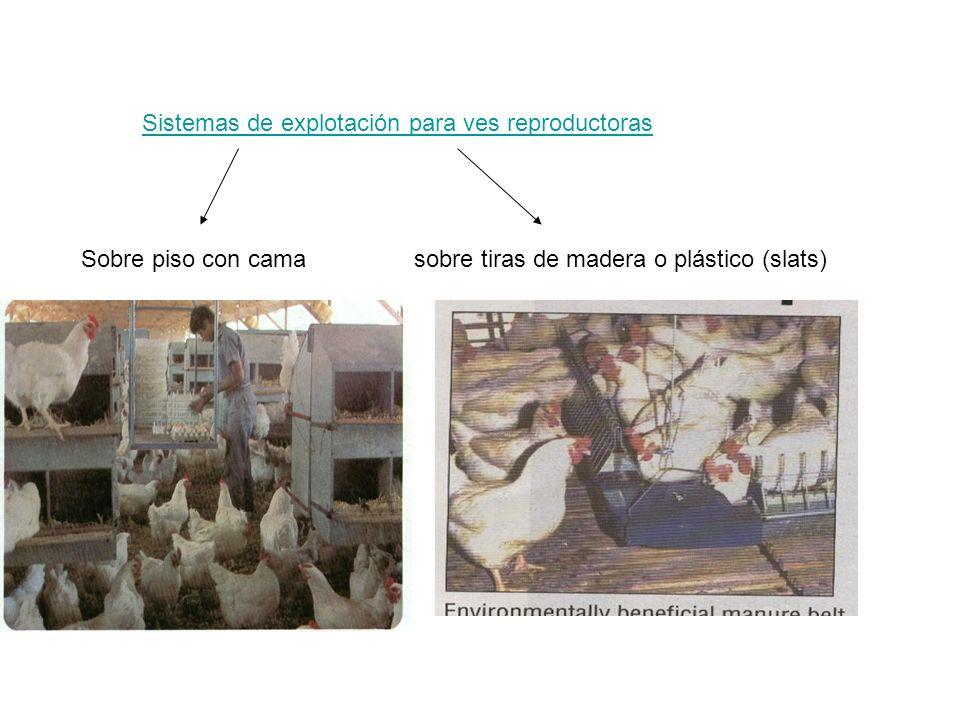Sistemas de explotación para ves reproductoras Sobre piso con camasobre tiras de madera o plástico (slats)