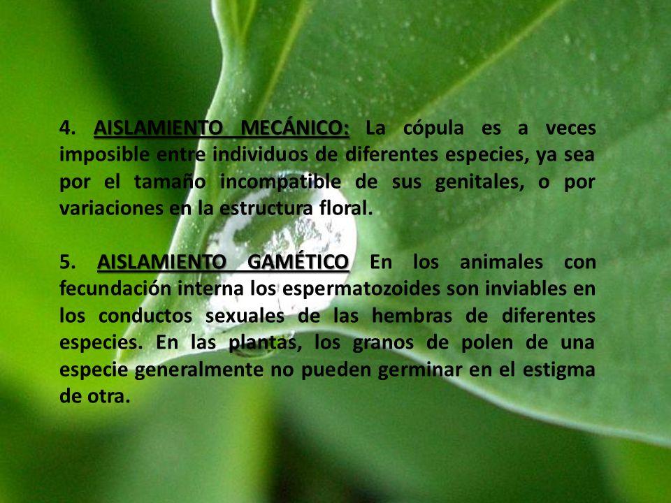 AISLAMIENTO MECÁNICO: 4. AISLAMIENTO MECÁNICO: La cópula es a veces imposible entre individuos de diferentes especies, ya sea por el tamaño incompatib