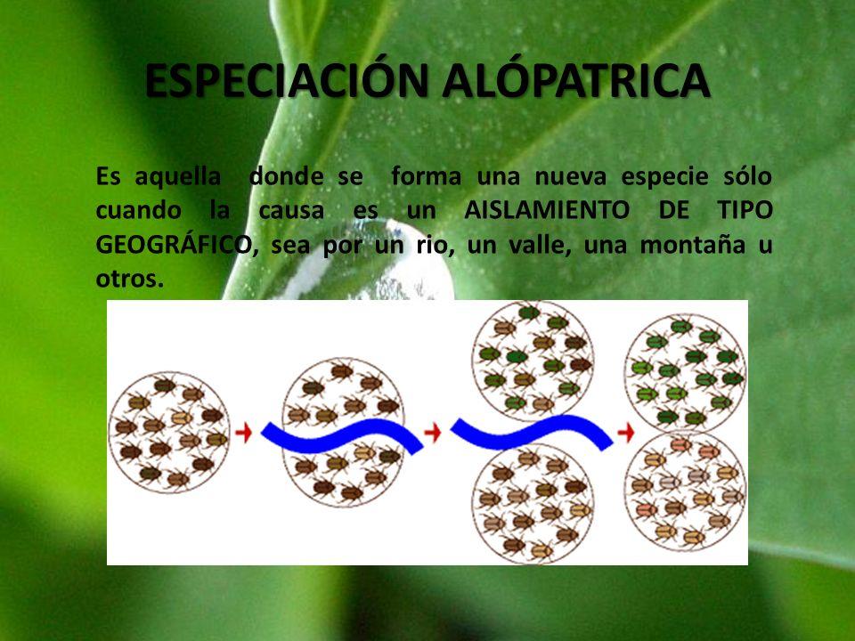 ESPECIACIÓN ALÓPATRICA Es aquella donde se forma una nueva especie sólo cuando la causa es un AISLAMIENTO DE TIPO GEOGRÁFICO, sea por un rio, un valle