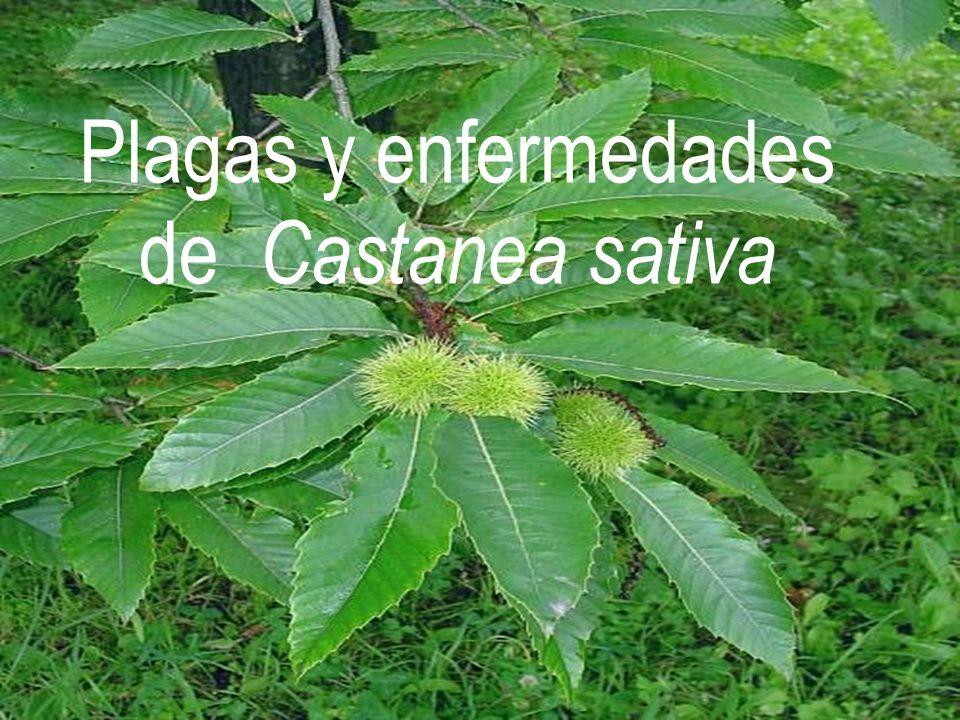 PROVIENE DEL HEMISFERIO NORTE AMERICA Castanea dentata, C.