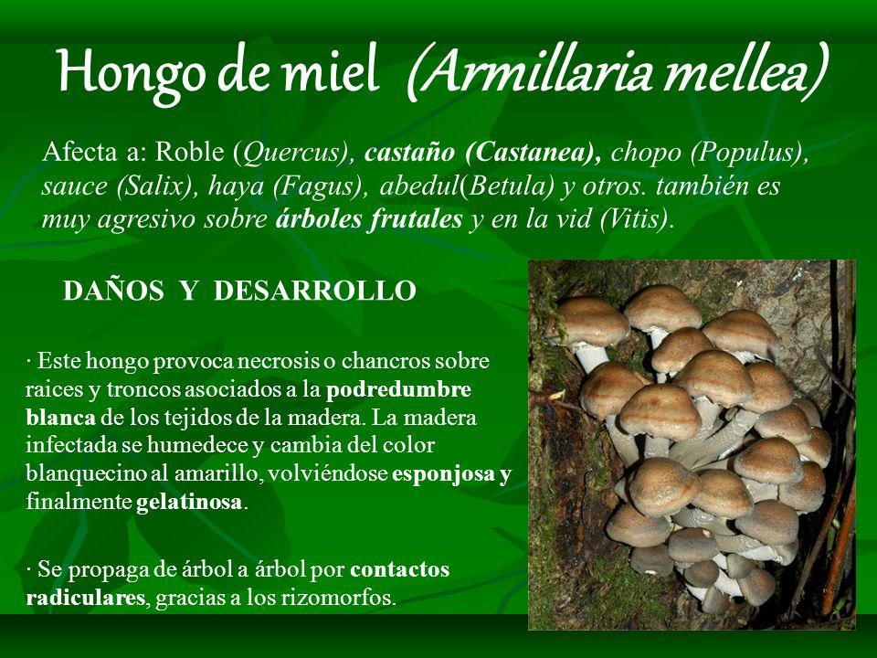DAÑOS Y DESARROLLO · Este hongo provoca necrosis o chancros sobre raices y troncos asociados a la podredumbre blanca de los tejidos de la madera. La m