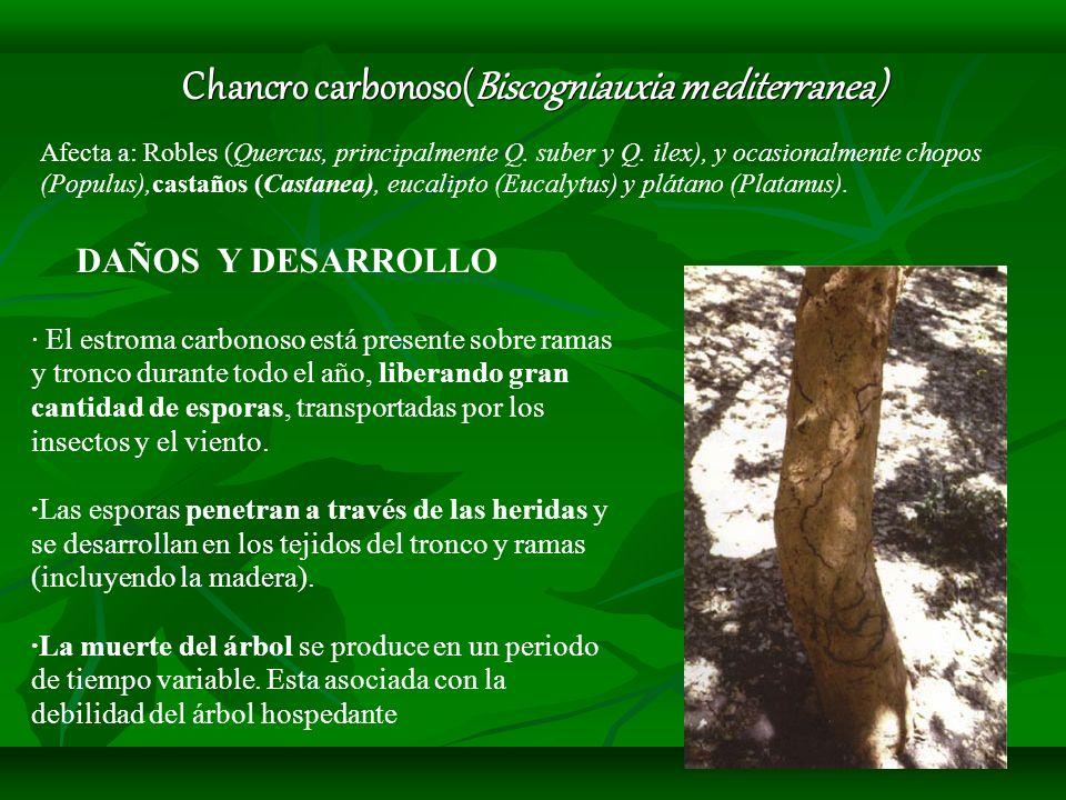 Chancro carbonoso(Biscogniauxia mediterranea) Afecta a: Robles (Quercus, principalmente Q. suber y Q. ilex), y ocasionalmente chopos (Populus),castaño