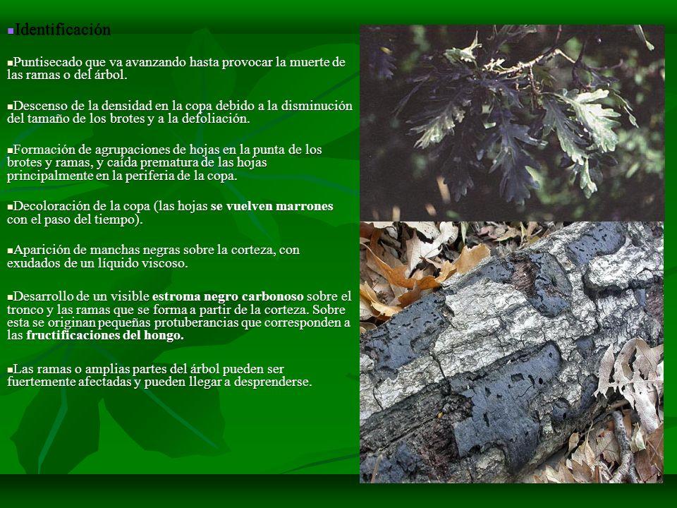 Identificación Identificación Puntisecado que va avanzando hasta provocar la muerte de las ramas o del árbol. Puntisecado que va avanzando hasta provo