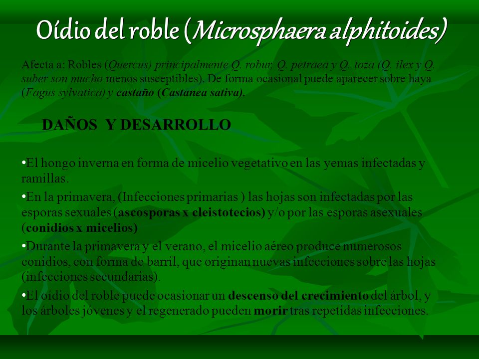 Oídio del roble (Microsphaera alphitoides) Afecta a: Robles (Quercus) principalmente Q. robur, Q. petraea y Q. toza (Q. ilex y Q. suber son mucho meno