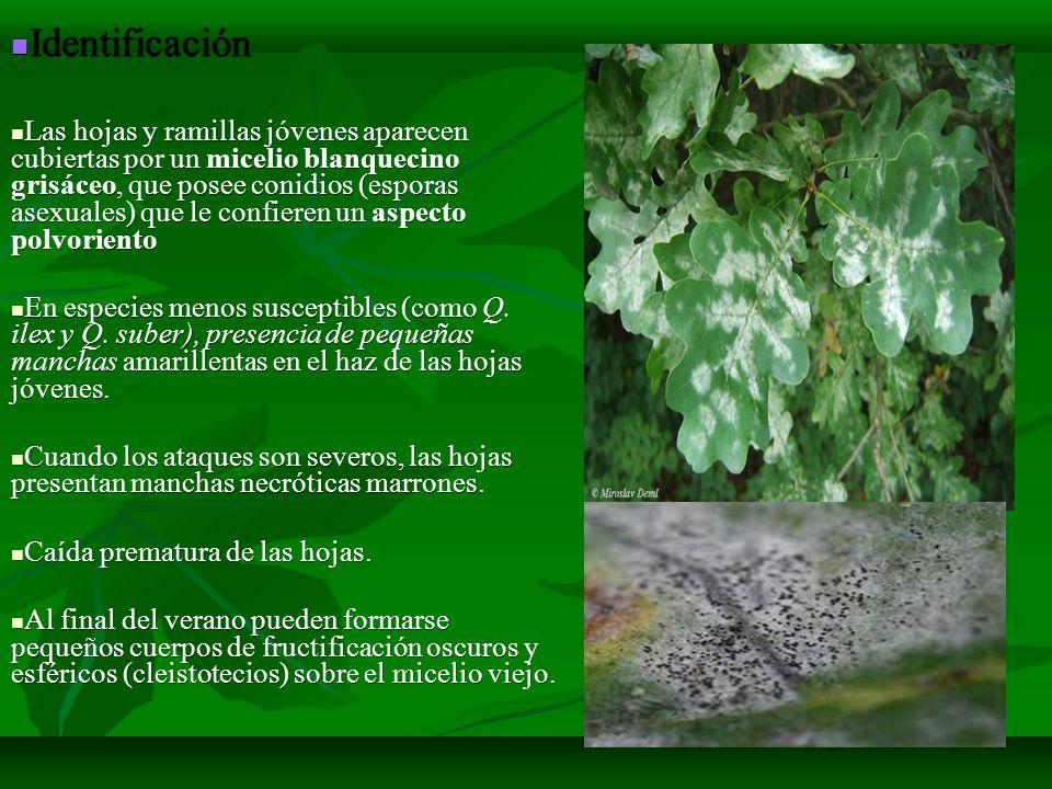 Identificación Identificación Las hojas y ramillas jóvenes aparecen cubiertas por un micelio blanquecino grisáceo, que posee conidios (esporas asexual