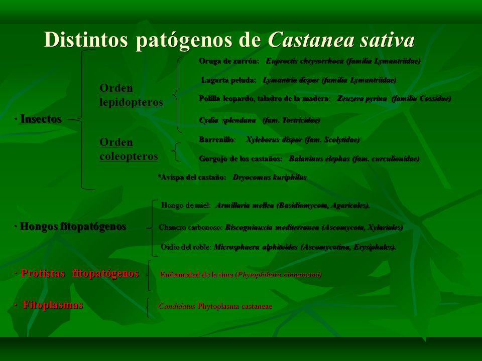Distintos patógenos de Castanea sativa Oruga de zurrón: Euproctis chrysorrhoea (familia Lymantriidae) Oruga de zurrón: Euproctis chrysorrhoea (familia