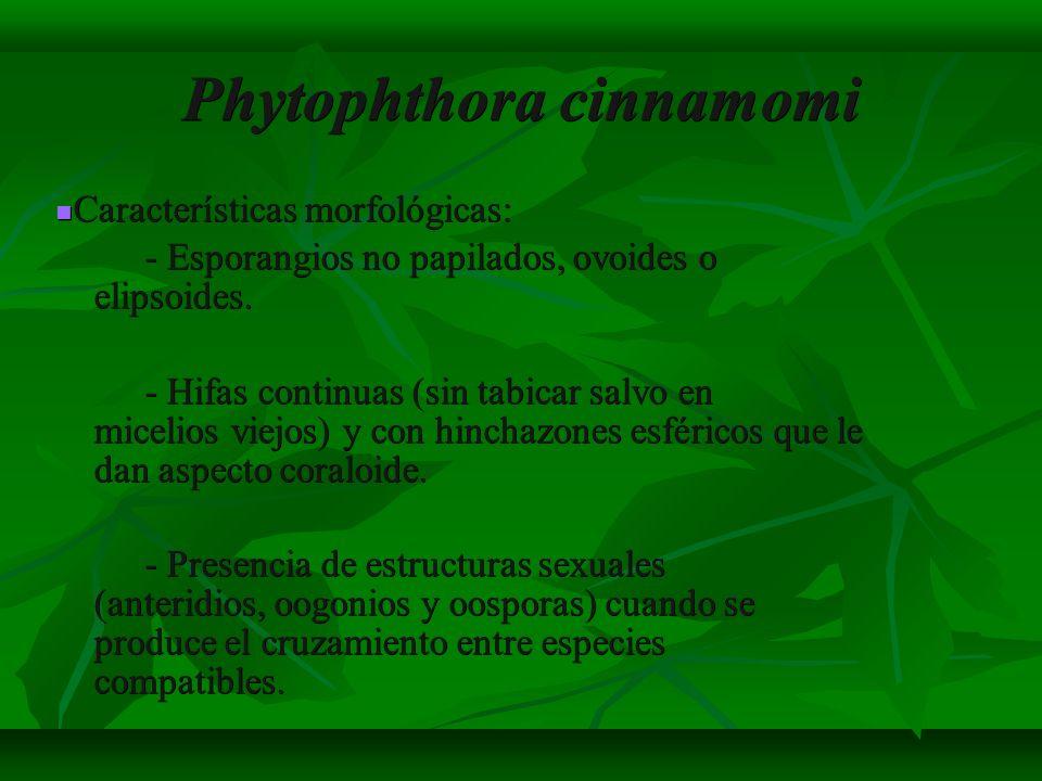 Phytophthora cinnamomi Características morfológicas: Características morfológicas: - Esporangios no papilados, ovoides o elipsoides. - Hifas continuas