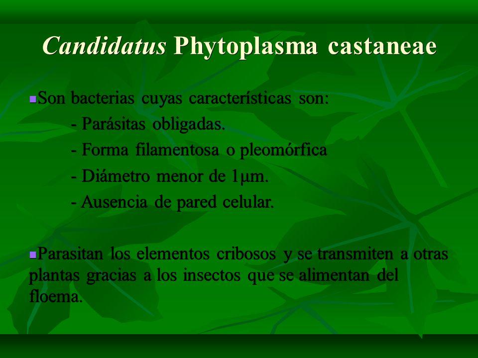 Candidatus Phytoplasma castaneae Son bacterias cuyas características son: Son bacterias cuyas características son: - Parásitas obligadas. - Parásitas