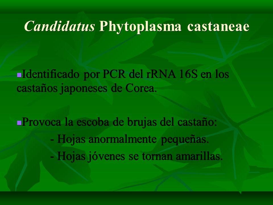 Identificado por PCR del rRNA 16S en los castaños japoneses de Corea. Identificado por PCR del rRNA 16S en los castaños japoneses de Corea. Provoca la