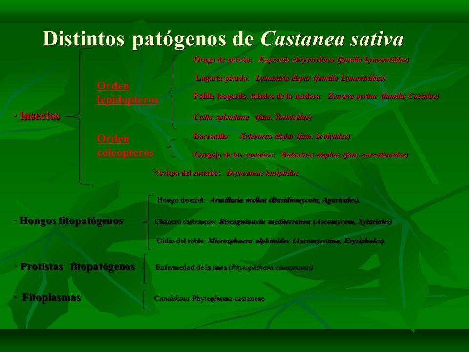 PLAGAS DE INSECTOS PLAGAS DE INSECTOS LEPIDOPTEROS Cydia splendana POLILLA DEL CASTAÑO -Adultos de unos 20-30 mm, grises y moteados.