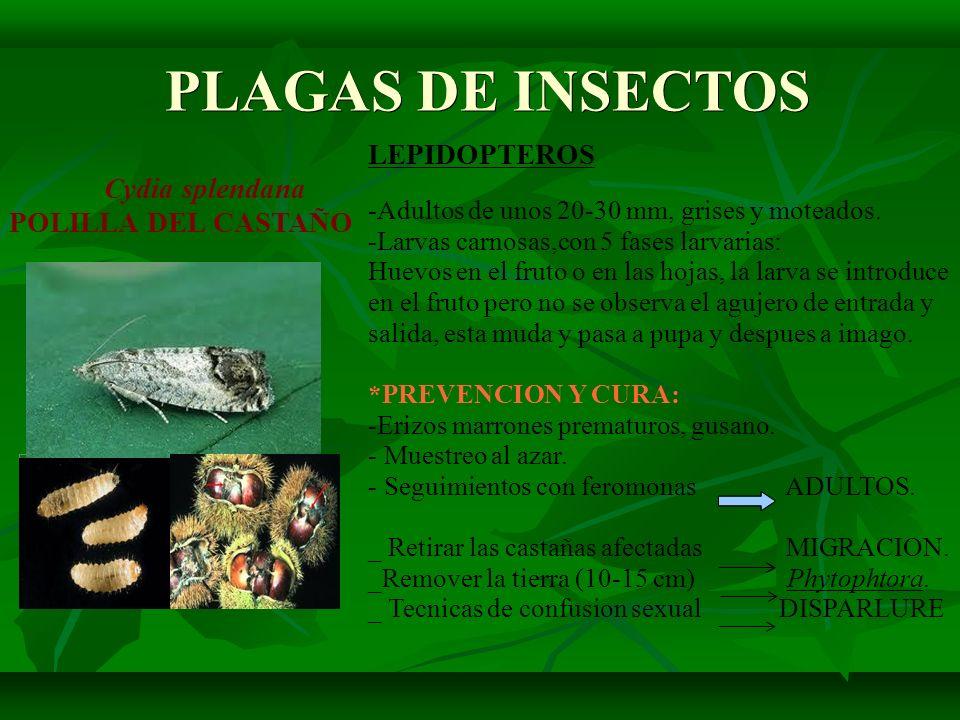 PLAGAS DE INSECTOS PLAGAS DE INSECTOS LEPIDOPTEROS Cydia splendana POLILLA DEL CASTAÑO -Adultos de unos 20-30 mm, grises y moteados. -Larvas carnosas,