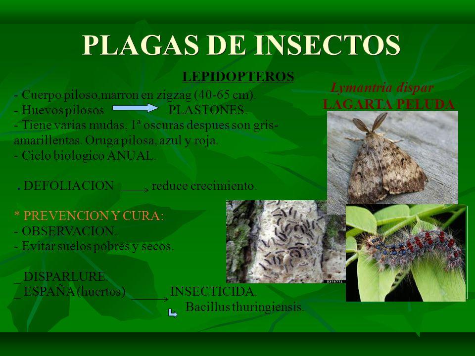 PLAGAS DE INSECTOS PLAGAS DE INSECTOS LEPIDOPTEROS Lymantria dispar LAGARTA PELUDA - Cuerpo piloso,marron en zigzag (40-65 cm). - Huevos pilosos PLAST