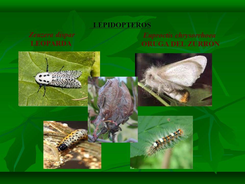 Oídio del roble (Microsphaera alphitoides) Afecta a: Robles (Quercus) principalmente Q.