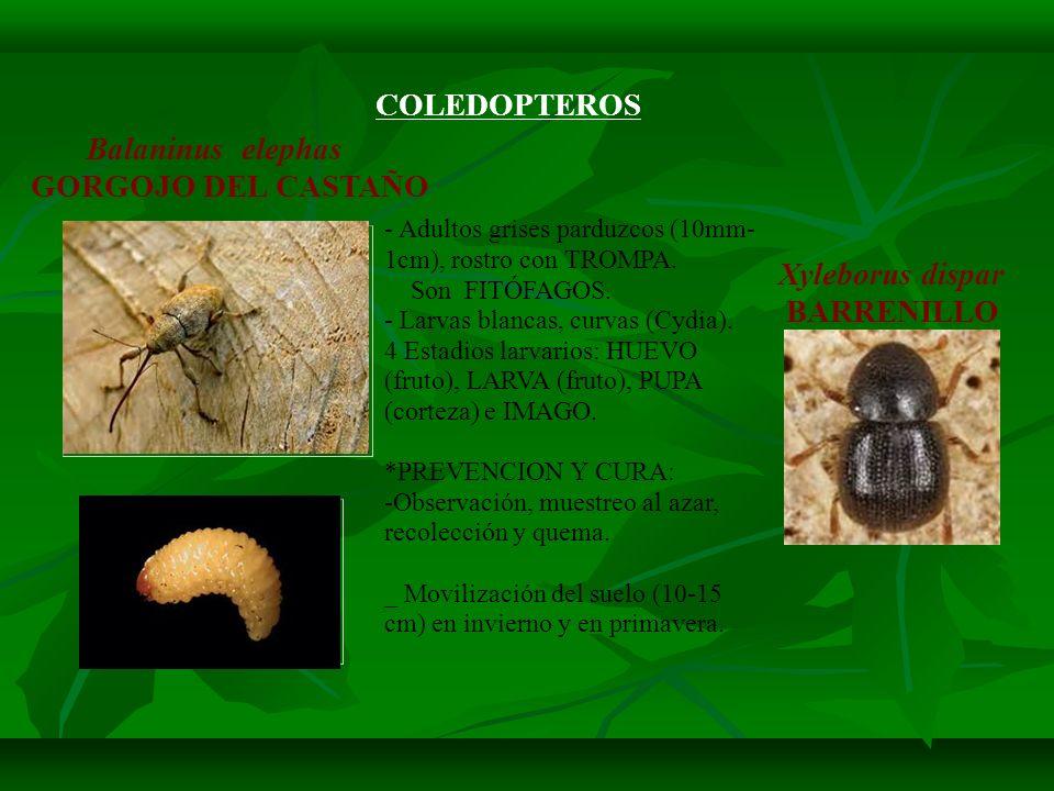 COLEDOPTEROS Balaninus elephas GORGOJO DEL CASTAÑO Xyleborus dispar BARRENILLO - Adultos grises parduzcos (10mm- 1cm), rostro con TROMPA. Son FITÓFAGO