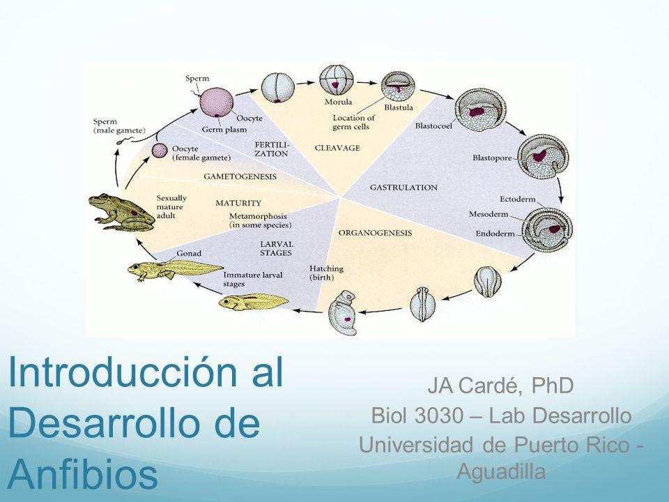 Introducción al Desarrollo de Anfibios JA Cardé, PhD Biol 3030 – Lab Desarrollo Universidad de Puerto Rico - Aguadilla