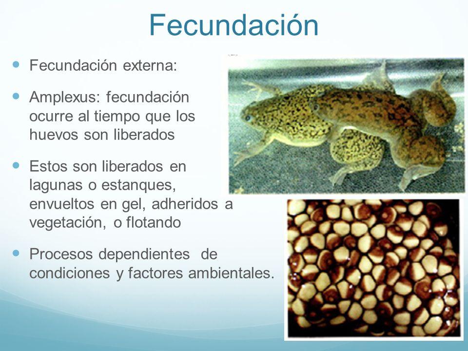 Fecundación Fecundación externa: Amplexus: fecundación ocurre al tiempo que los huevos son liberados Estos son liberados en lagunas o estanques, envue