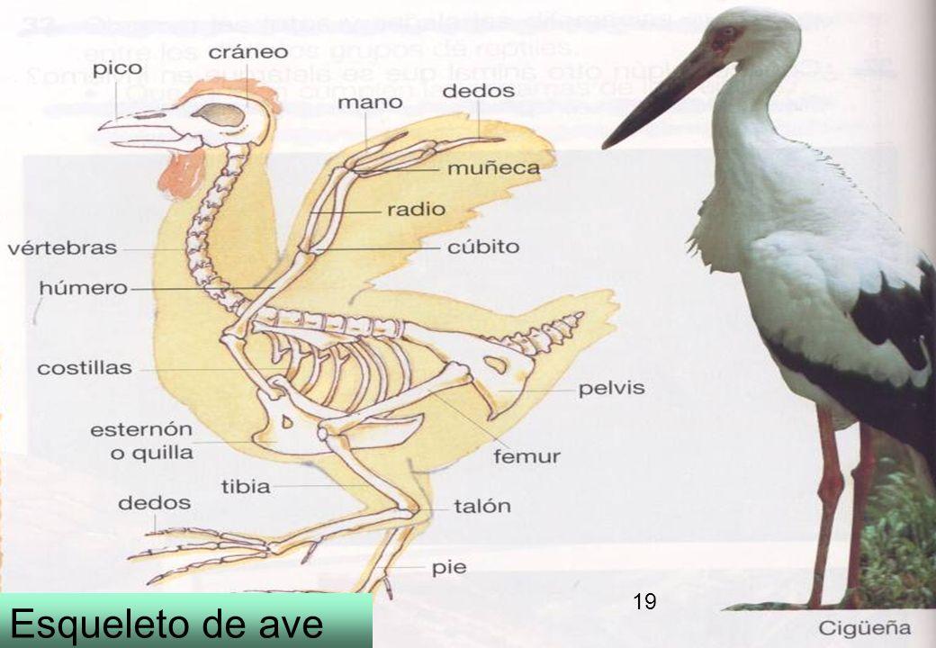 17 Esqueleto de ave 19