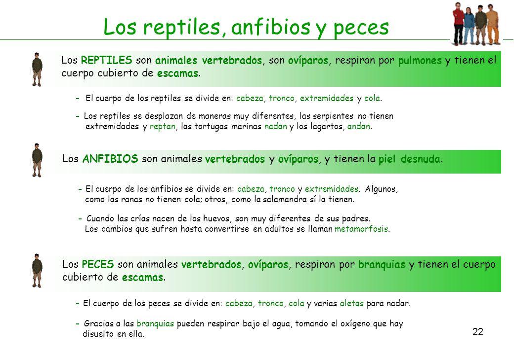 22 Los reptiles, anfibios y peces Los REPTILES son animales vertebrados, son ovíparos, respiran por pulmones y tienen el cuerpo cubierto de escamas. -