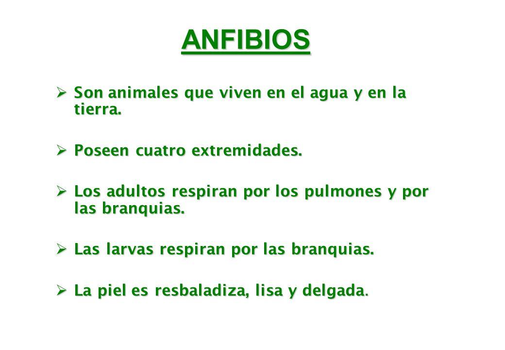 ANFIBIOS Son animales que viven en el agua y en la tierra. Son animales que viven en el agua y en la tierra. Poseen cuatro extremidades. Poseen cuatro